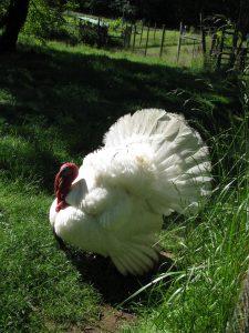 carolee_clark_rooster_4